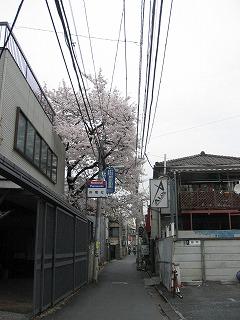 小道の奥に発見した桜
