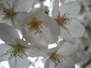 桜を接写。神秘そのものです