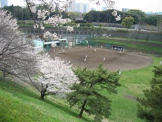 野球に集中する学生さんたち。満開の桜に彩られ・・・