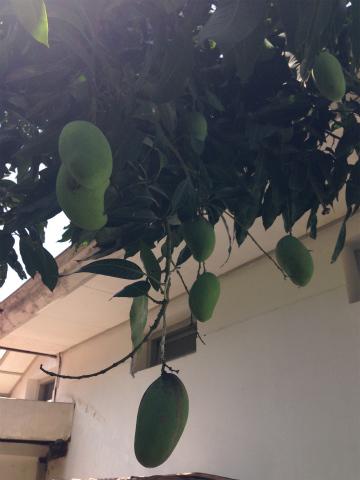 木にぶらさがるたくさんのマンゴ