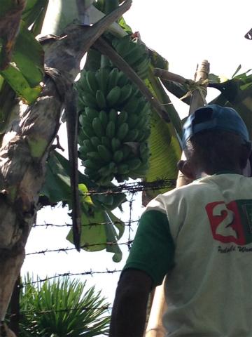 ハシゴにのぼってバナナを取りに行くところ