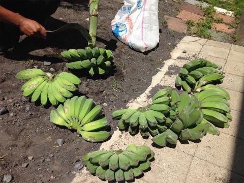 収穫してきたばかりのバナナ。新鮮!