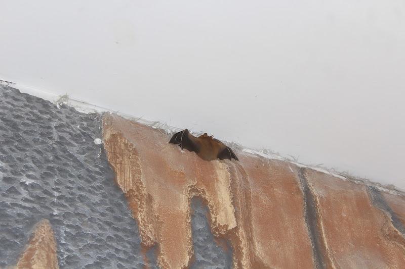 なんと「コウモリ」が、インドネシアの我が家のダイニングに!