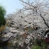 京都、高台寺・圓徳院住職との会食にて桜と人生を思う(その2)