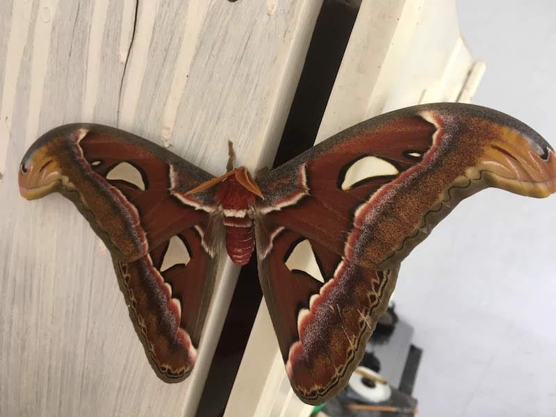 ヨナグニサン アヤミハビル Attacus Atlas Kupu-kupu Gajah