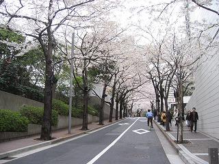 新たな桜のトンネル