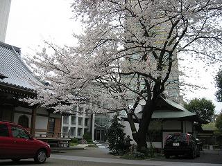 誰もいないお寺で咲き誇る満開の桜