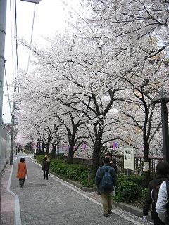 ため息の出るような桜街道