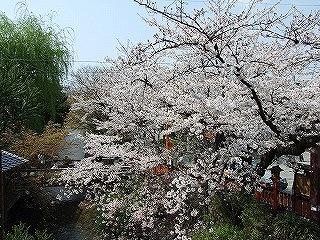 住職と眺めた見事な桜。左手には清涼な川、右手には美しい石畳