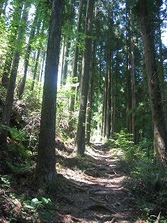 杉の根が天然の階段をつくります・・・