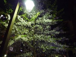 夜の桜も美しい・・・