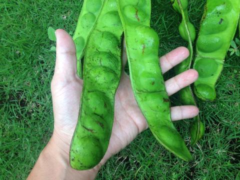 インドネシアの野菜「プテ」(Petai, pete)