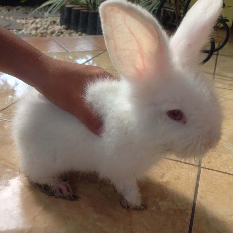 ふわふわ「ウサギ」が、インドネシアの我が家の庭にやってきた!